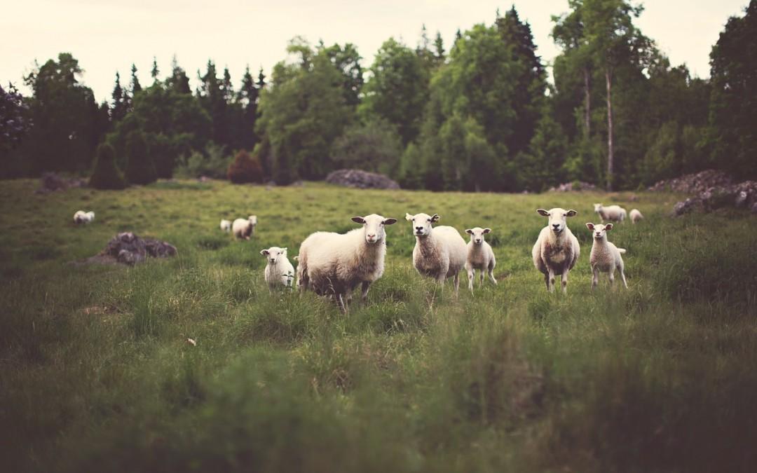 Les résultats de notre solution sur un élevage d'ovins.